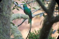 resplendent_quetzal_4_B